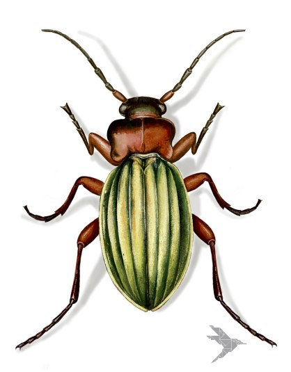 Laufkäfer-(Carabidae)